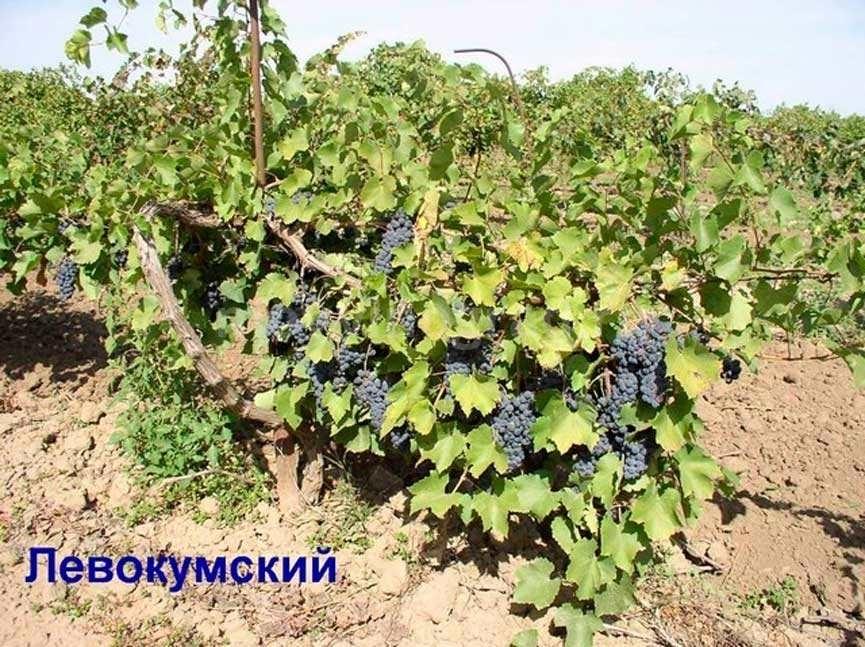 виноград-сорта-левокумский-фото