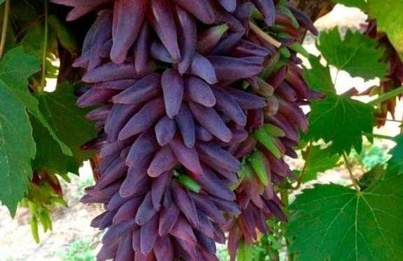 виноград-ведьмины-пальцы-фото