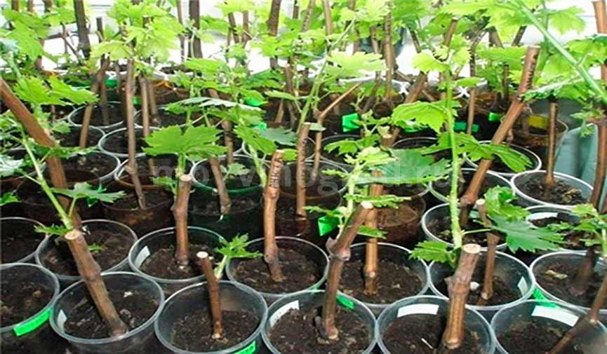 выращивание-чубуков-винограда-в-почве-фото