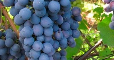 Агат-донской-сорт-винограда-фото
