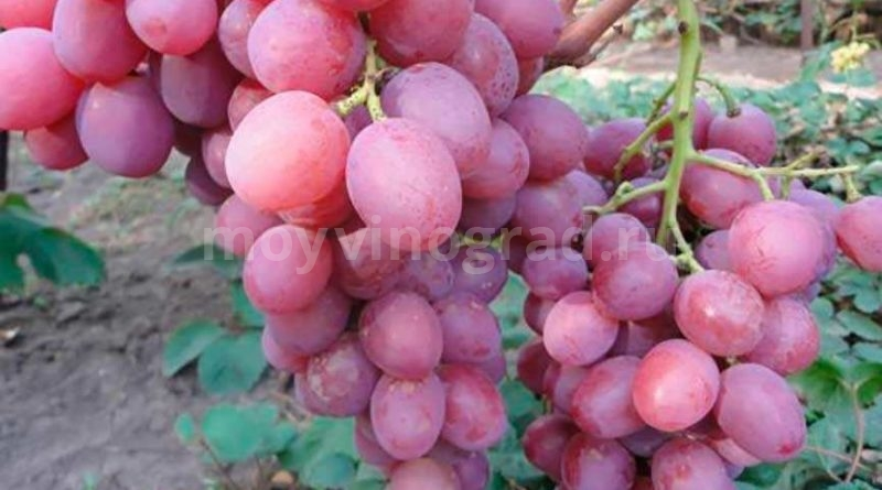 Анюта-кисти-винограда-фото