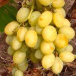 Гроздь-винограда-Благовест-фото
