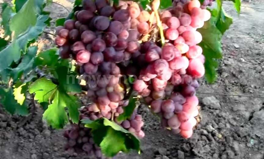 Грозди-винограда-Граф-Монте-Кристо-фото