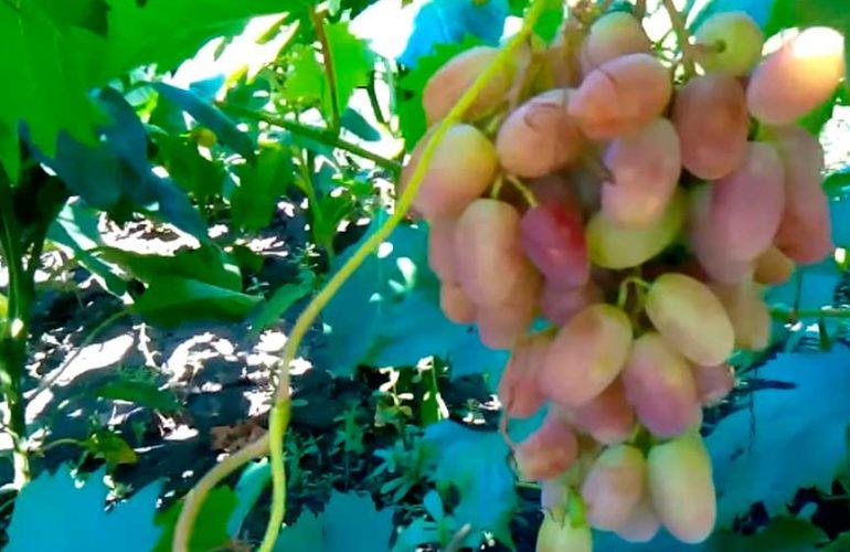 Гроздочка-винограда-Преображение-фото