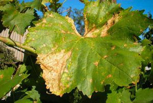 Как-побороть-антракоз-винограда-фото