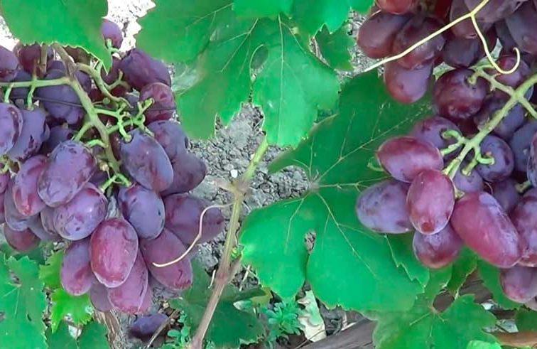 Как-выглядит-виноград-Граф-монте-кристо-фото