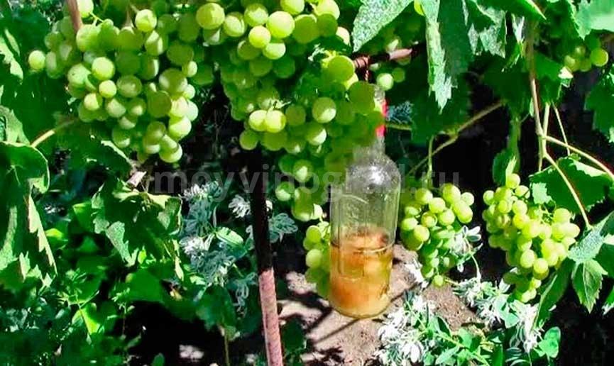 Как-выглядит-виноград-краса-севера-фото
