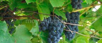 Кисть-винограда-Альфа-фото