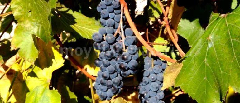Кисточка-винограда-Изабелла-фото