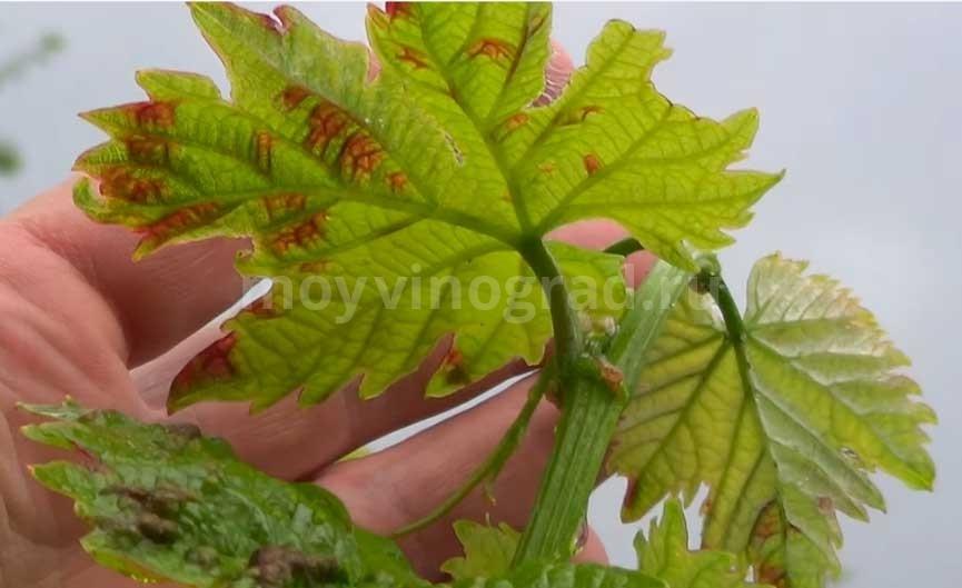 Клещ-зудень-на-винограде-фото