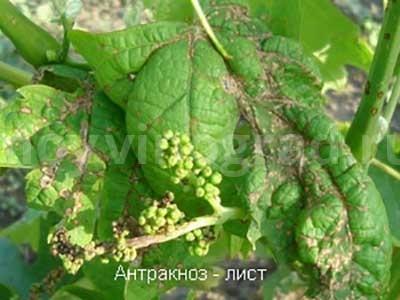 Лист-с-антракозом-винограда-фото