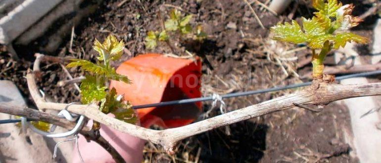 Подкормка-винограда-весной-фото