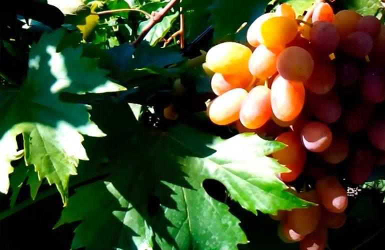 Сорт-преображение-винограда-в-харьковской-области-фото