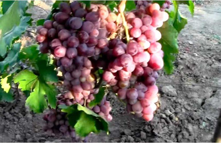 Сорт-винограда-Граф-Монтекристо-фото