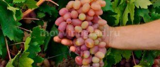 Сорт-винограда-Преображение-фото