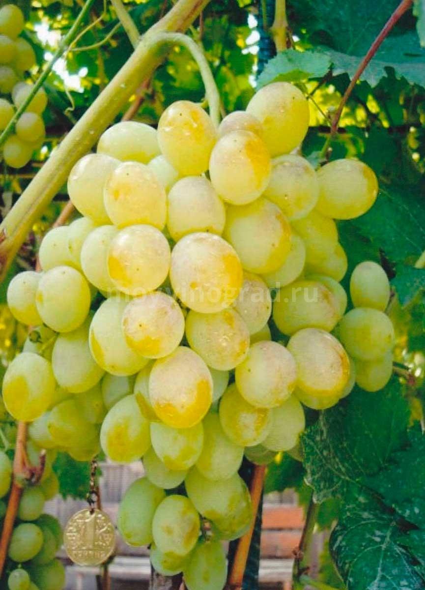 Сорт-винограда-восторг-фото