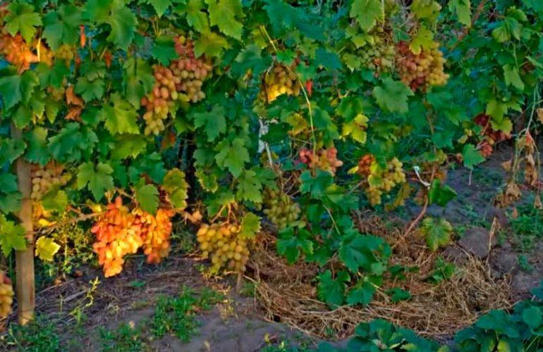 Урожай-сорта-винограда-Преображение-фото