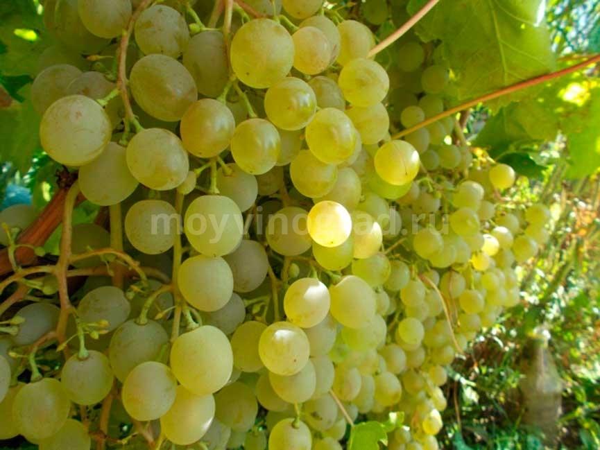 Виноград-Краса-севера-фото