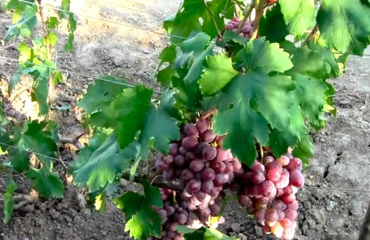 Виноград-Монте-Кристо-фото