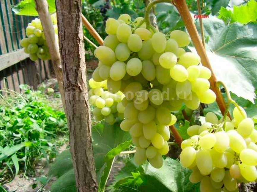Виноград-Плевен-фото