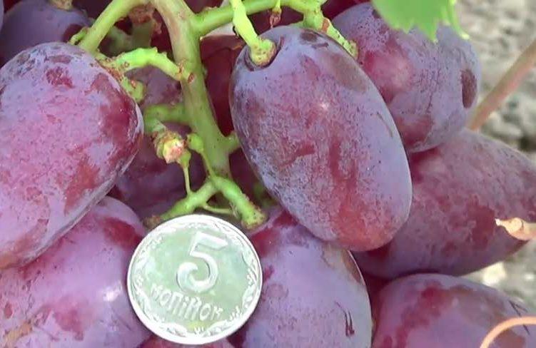 Ягоды-винограда-Граф-монте-кристо-фото