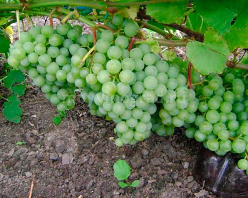 Ягоды-винограда-краса-севера-фото