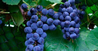 Зилга-сорт-винограда-фото