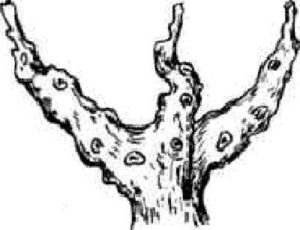 чашевидная-форма-куста-фото
