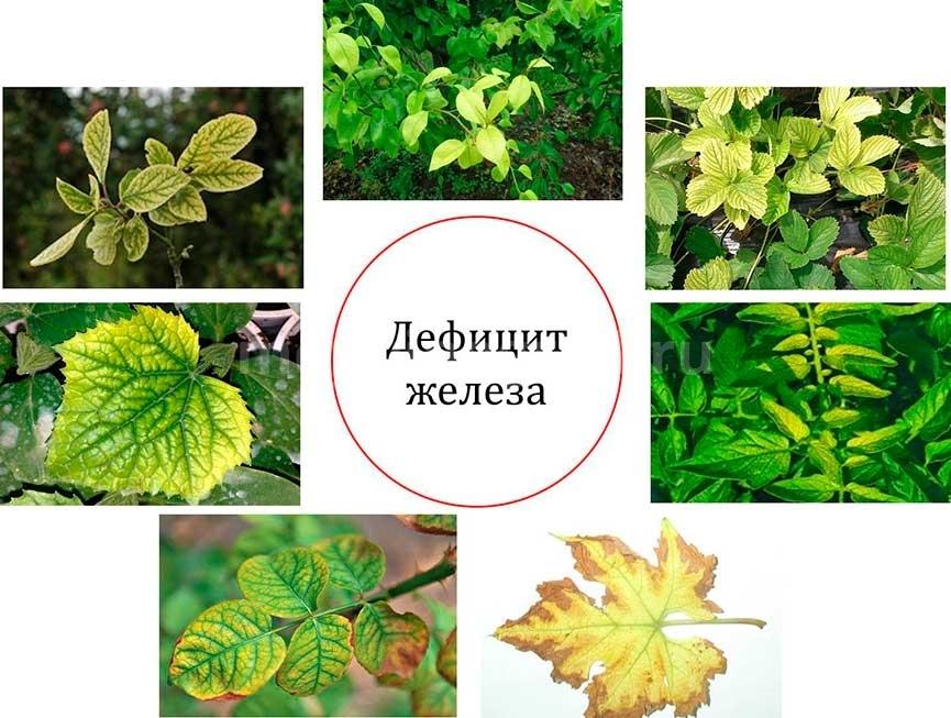 дефицит-железа-у-растений-фото