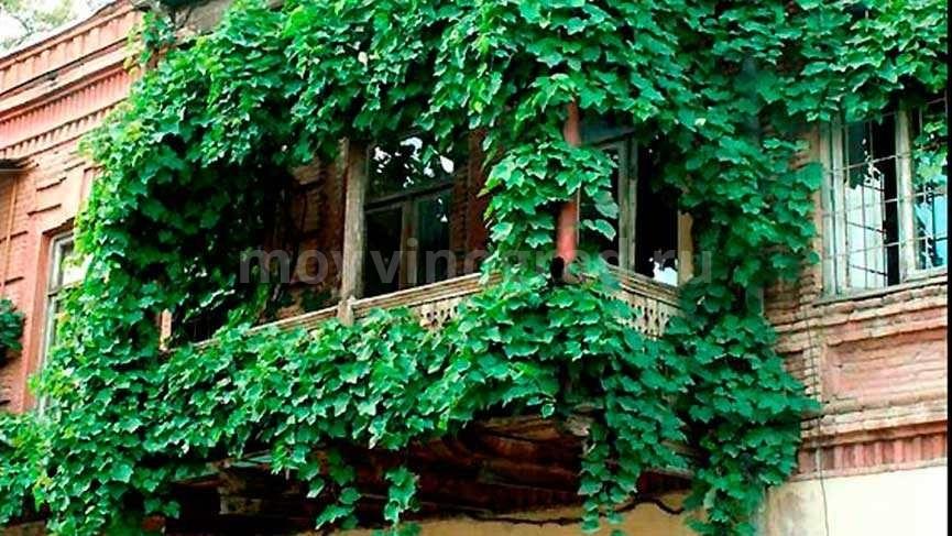 декорирование-балконов-девичьим-виноградом-фото