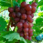 характеристика-сорта-винограда-блестящий-фото