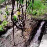 как-поливать-виноград-фото
