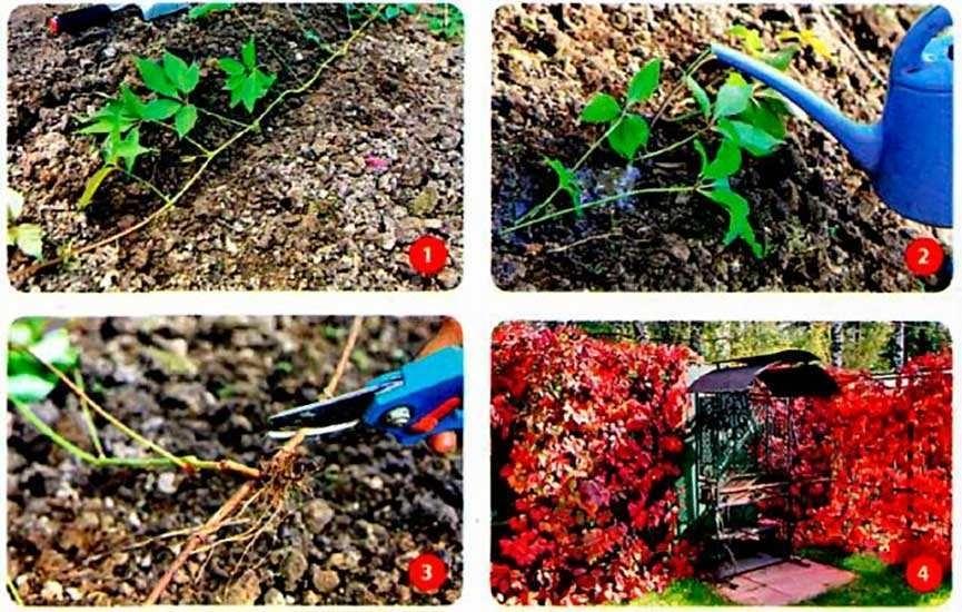 как-посадить-девичий-виноград-отводами-фото