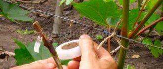 как-прививают-виноград-в-расщеп-фото