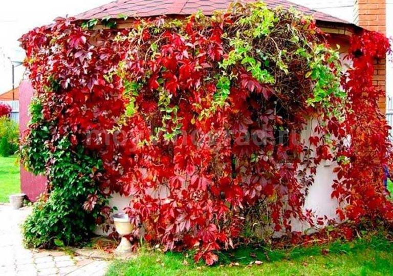 виноград посадка семенами и уход