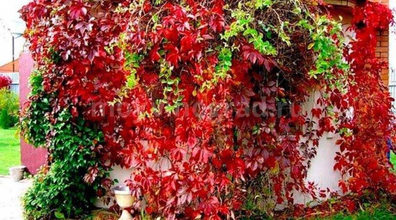как-вьется-девичий-виноград-фото