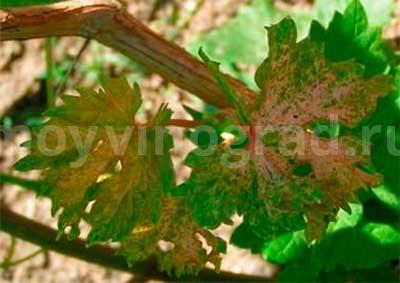 как-выглядит-пятнистый-некроз-винограда-фото