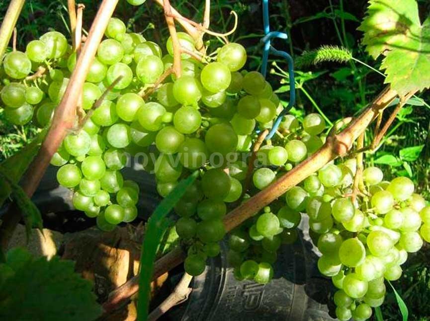 как-выглядит-сорт-винограда-краса-севера-фото