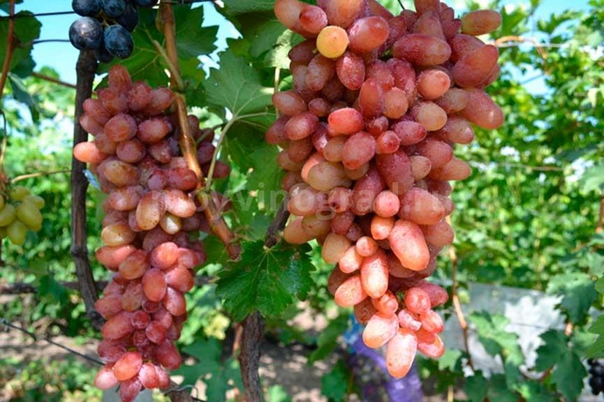 как-выглядит-виноград-Клеопатра-фото