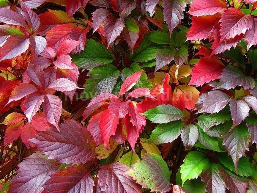 листья-девичьего-винограда-фото