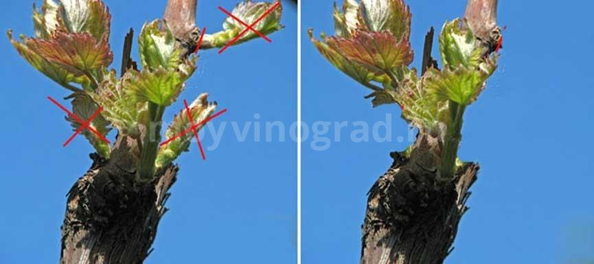 обломка-побегов-винограда-фото