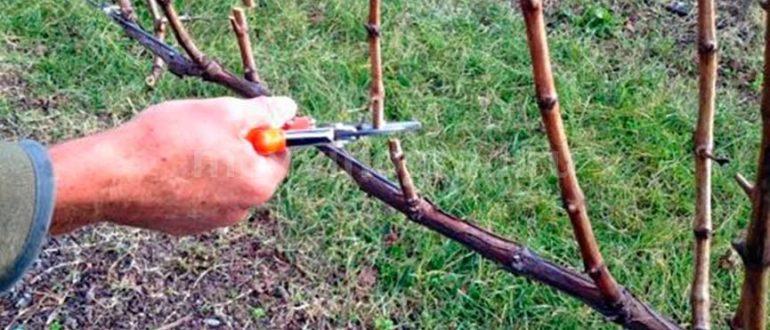 обрезка-винограда-летом-фото