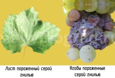 поражение-серой-гнилью-винограда-фото
