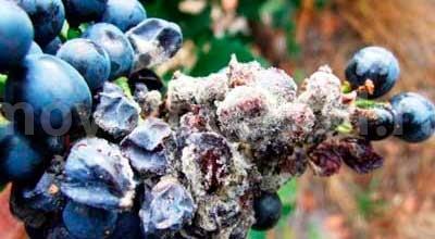 пораженные-белой-гнилью-ягоды-винограда-фото