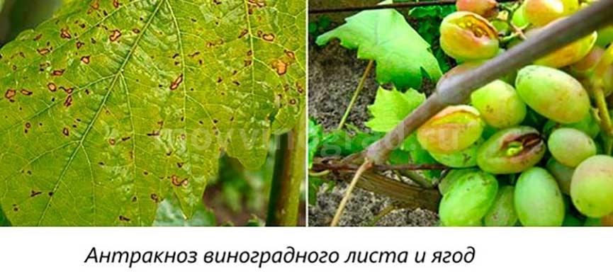 повреждение-антракозом-листьев-и-ягод-фото