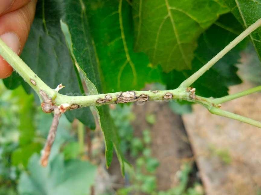 повреждение-антракнозом-лозы-винограда-фото