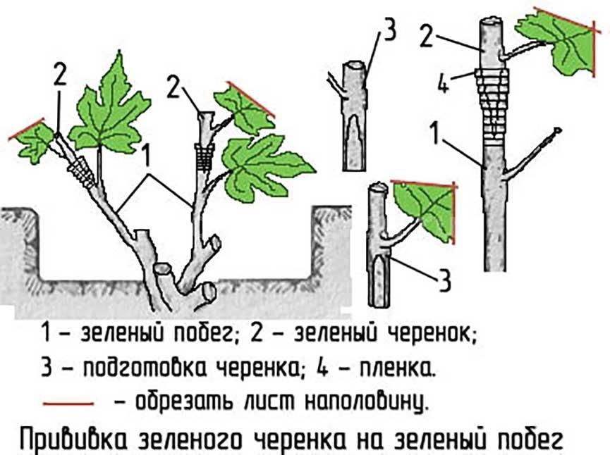 прививка-винограда-в-зеленый-побег-фото