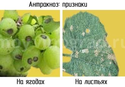 признаки-антракоза-винограда-фото