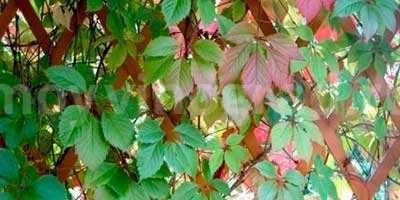 пятилисточковый-девичий-виноград-фото