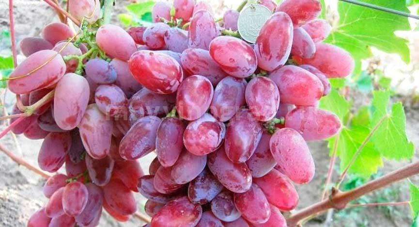 сорт-винограда-Клеопатра-фото